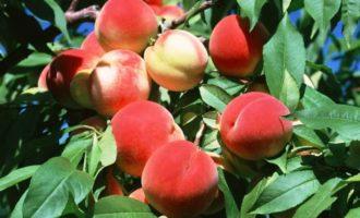 Персик - полезные свойства